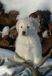 Akbash Dog puppy Canada