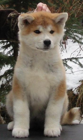 Akita puppy Canada