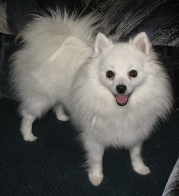 Toy American Eskimo Dog Adult Canada