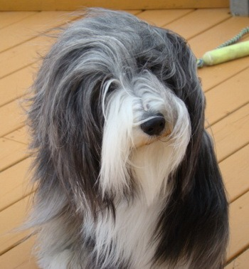 Bearded Collie Adult Canada