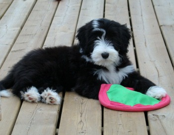 Bearded Collie puppy Canada