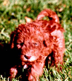 Bedlington Terrier puppy Canada