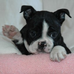 Boston Terrier puppy Canada