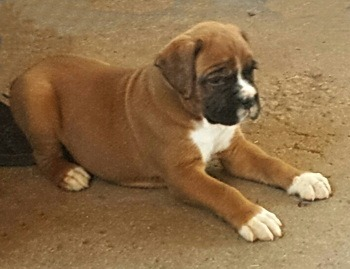 Boxer puppy Canada