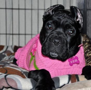 Cane Corso puppy Canada