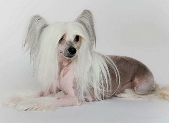Chinese Crested Dog Adult Canada