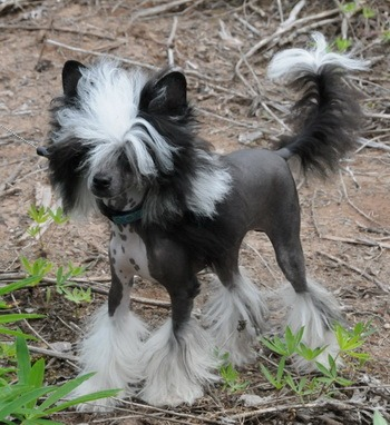 Chinese Crested Dog Canada