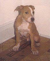 Pitbull puppy Canada
