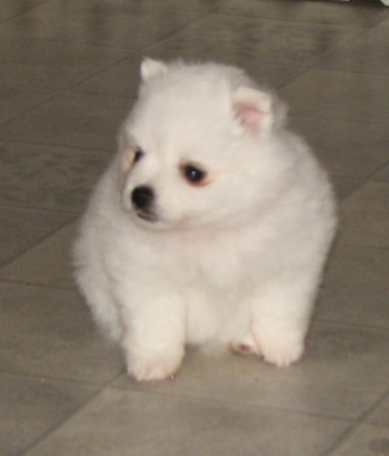 Toy American Eskimo Dog puppy CanaDogs