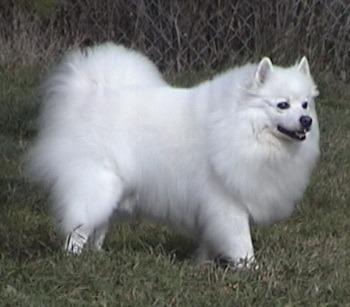 Standard American Eskimo Dog Adult Canada