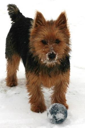 Australian Terrier puppy Canada