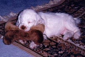 Clumber Spaniel puppy Canada
