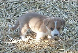 Cardigan Welsh Corgi puppy Canada