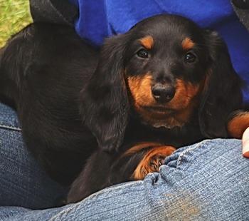 Standard Long-haired Dachshund puppy Canada