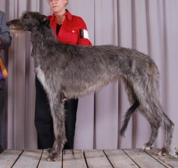 Scottish Deerhound Adult Canada