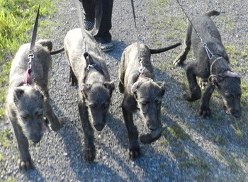 Scottish Deerhound puppies Canada