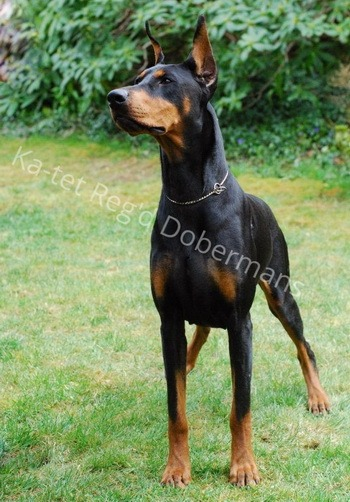 Doberman Pinscher Adult Canada