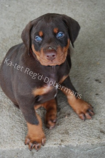 Doberman Pinscher puppy Canada