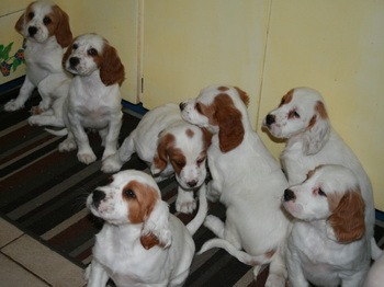English Setter puppies Canada