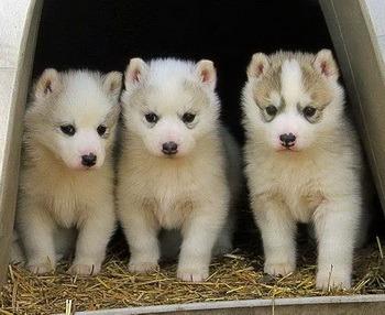 Siberian Husky puppies Canada