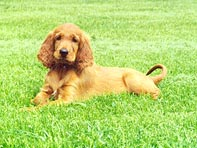 Irish Setter puppy Canada