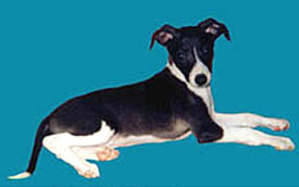 Italian Greyhound puppy Canada