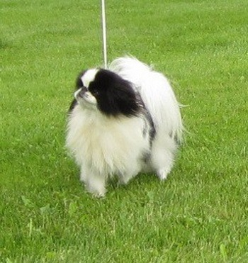 Japanese Chin Adult Canada
