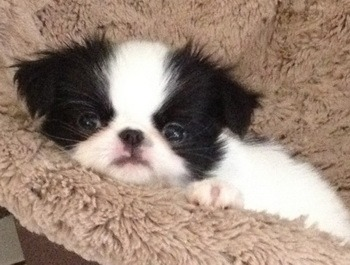 Japanese Chin puppy Canada