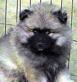 Keeshond puppy Canada