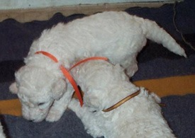 Komondor puppies Canada