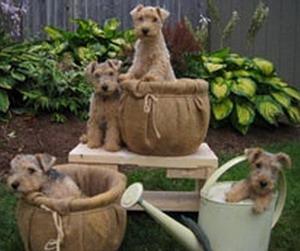 Lakeland Terrier puppies Canada
