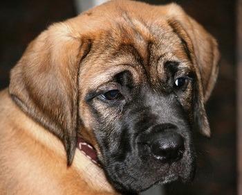 Mastiff puppy Canada