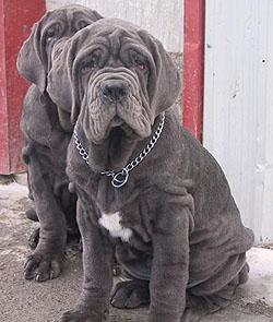 Neapolitan Mastiff puppy Canada
