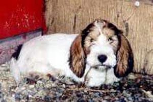 Petit Basset Griffon Vendeen puppy Canada