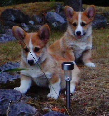 Pembroke Welsh Corgi puppies Canada