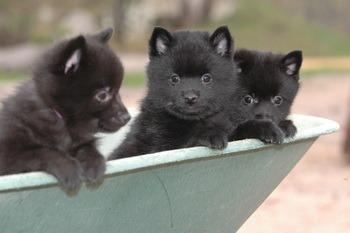 Schipperke puppies Canada