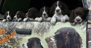 Épagneul Français/French Spaniel puppies Canada