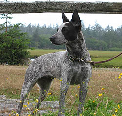 Australian Stumpy Tail Cattle Dog Canada