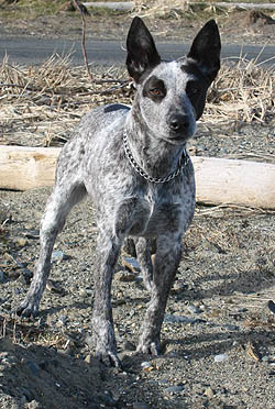 Australian Stumpy Tail Cattle Dog Adult Canada