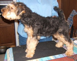 Welsh Terrier puppy Canada
