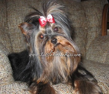 Yorkshire Terrier Adult Canada