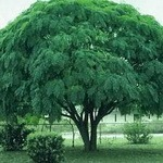 Chinaberry Tree