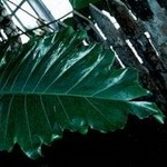 Philodendron (Lacy Tree)