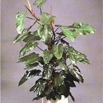 Philodendron (Red Emerald)