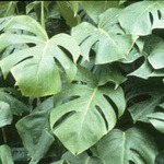 Philodendron (Split Leaf)