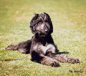 Afghan Hound puppy Canada