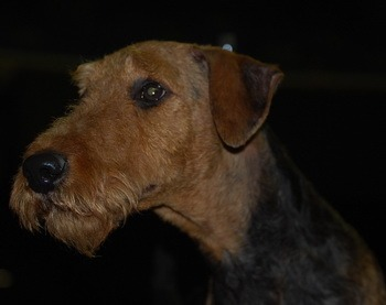 Airedale Terrier Adult Canada