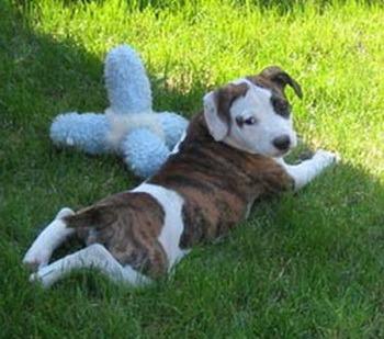 American Staffordshire Terrier puppy Canada