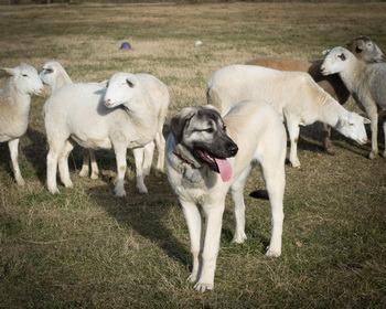 Anatolian Shepherd Dog Canada