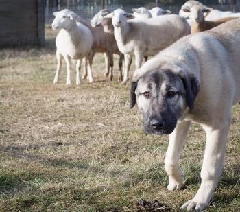 Anatolian Shepherd Dog Adult Canada